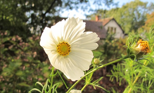 cosmos purity, cottage garden, gardening blog