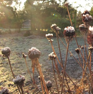 frosted rudbeckia stems, cottage garden, gardening blog