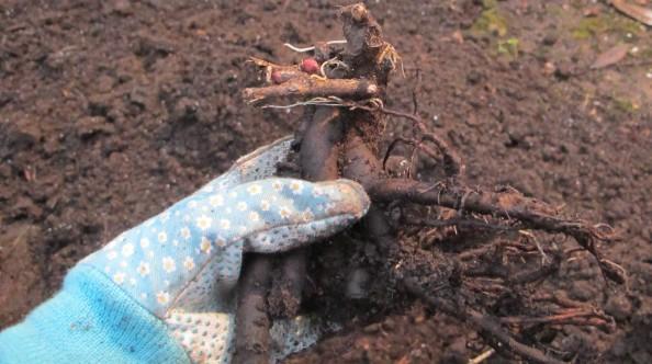bare root peony, cottage garden, gardening blog