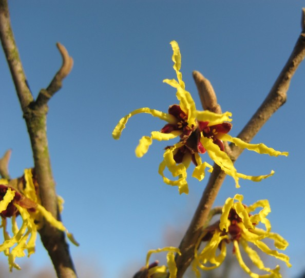 witch hazel, cottage garden, gardeningblog