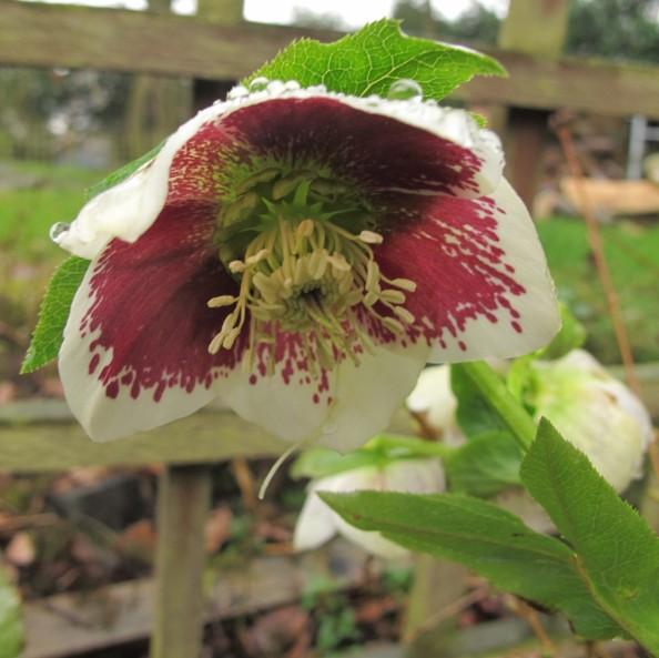 hellebore, cottage garden, gardening blog