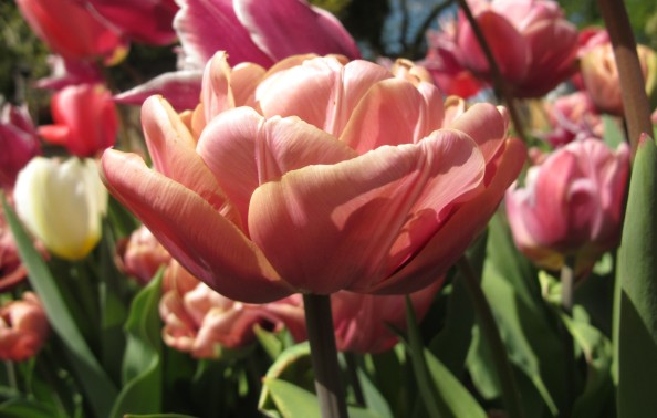 Tulip La Belle Epoque, cottage garden, gardening blog